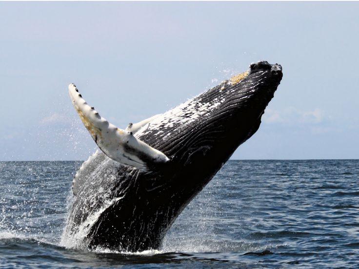 Cinq choses à savoir sur les baleines à bosse : Geo.fr
