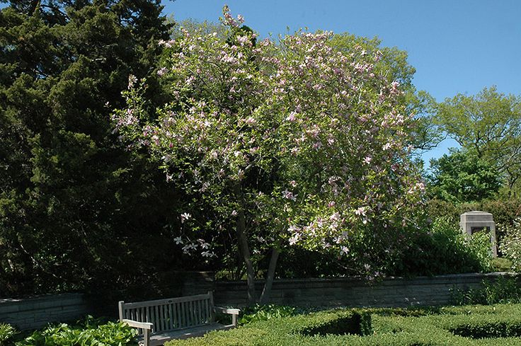 Click to view full-size photo of Jane Magnolia (Magnolia 'Jane') at Stein's Garden & Home
