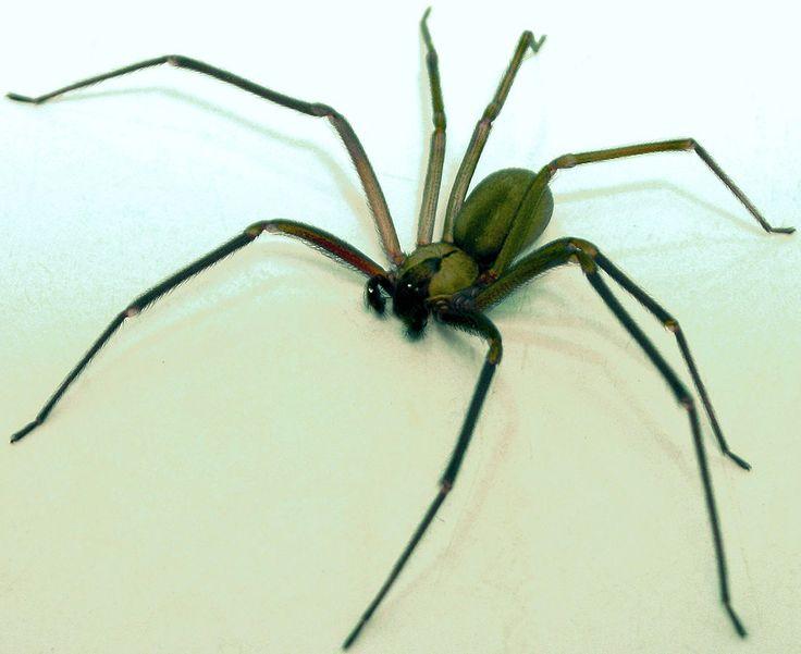 Araignée recluse ou araignée violoniste. Cette araignée de 8 à 9 mm ne semble avoir rien de particulier… jusqu'à ce qu'elle morde. En effet, son venin toxique détruit les artères, les veines, les tissus et peut aller jusqu'à nécroser la partie mordue. Une Néerlandaise s'est récemment fait attaquer par cette espèce d'araignée durant son sommeil. Une partie de son oreille a dû être sectionnée.