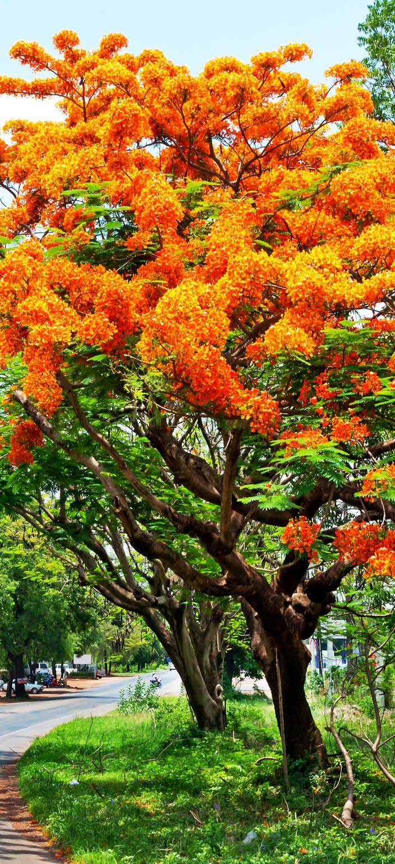 Poinciana real, o Flamboyant. A árvore flamboyant é endêmica em Madagascar, mas cresce em áreas tropicais ao redor do mundo.  Fotografia: AppStock / via Shutterstock.