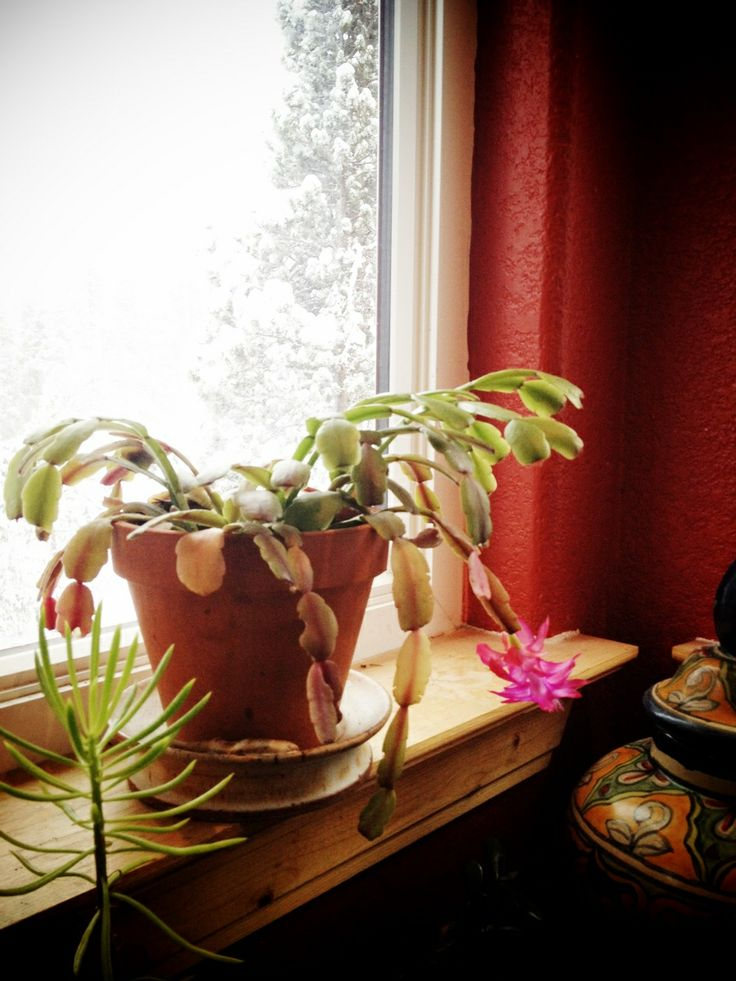 1-4-14: My 75+ year old Christmas cactus