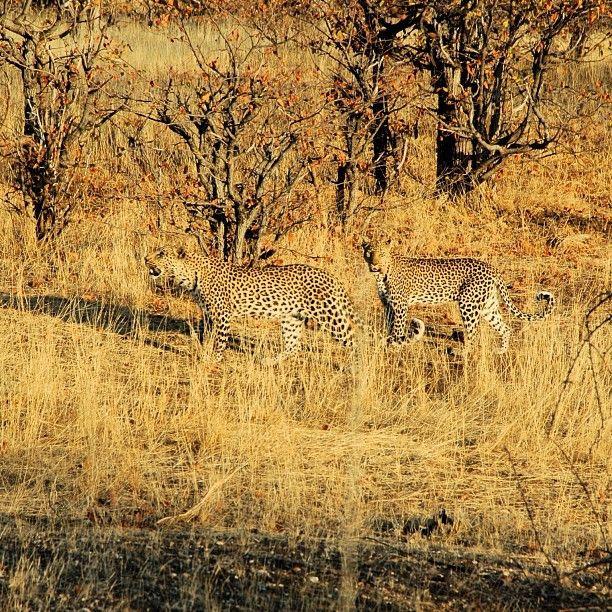 leopard brothers, camouflage botswana