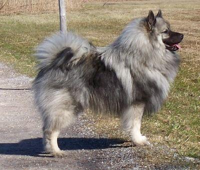 Si vas a comprarte un pomerania o necesitas saber si tu perrito lo es, entra aquí ;) - (Pomerania)   Perros.com
