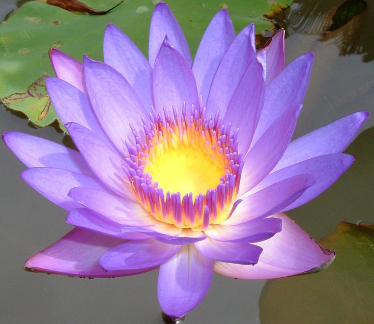 autobiography of lotus flowers Free essays on in marathi essay on flowers autobiography get help with your writing 1 through 30.