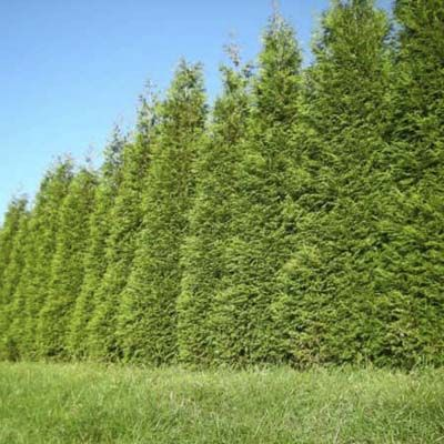 Looking for a neighborly alternative to a high fence? Consider the fast-growing Thuja (standishii x plicata) 'Green Giant' which can reach up to 60' and is known for its densely packed, dark green, scale-like needles that won't yellow during winter. | Muddy Creek Nursery | thisoldhouse.com