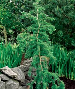 'Diana' weeping larch; 'Diana' weeping larch   Name: Larix kaempferi 'Diana'  Zones: 5 to 7  Size: 8 to 15 feet tall and wide  Conditions: Full sun; well-drained soil