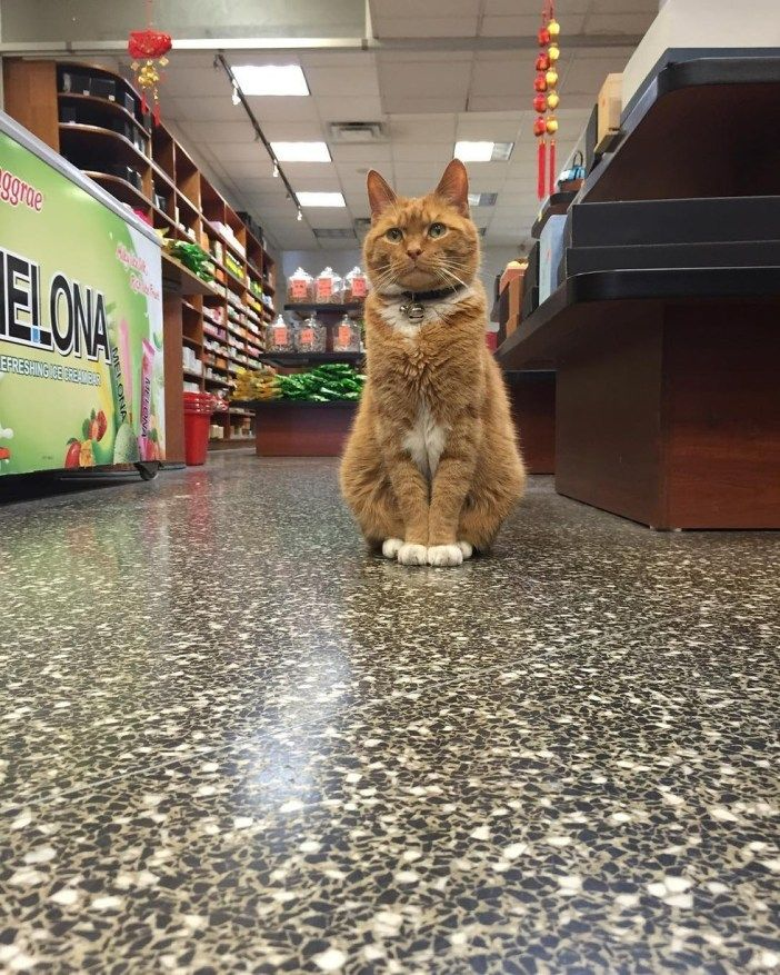 Store cat Chinatown, New York Ginger cats, African wild cat