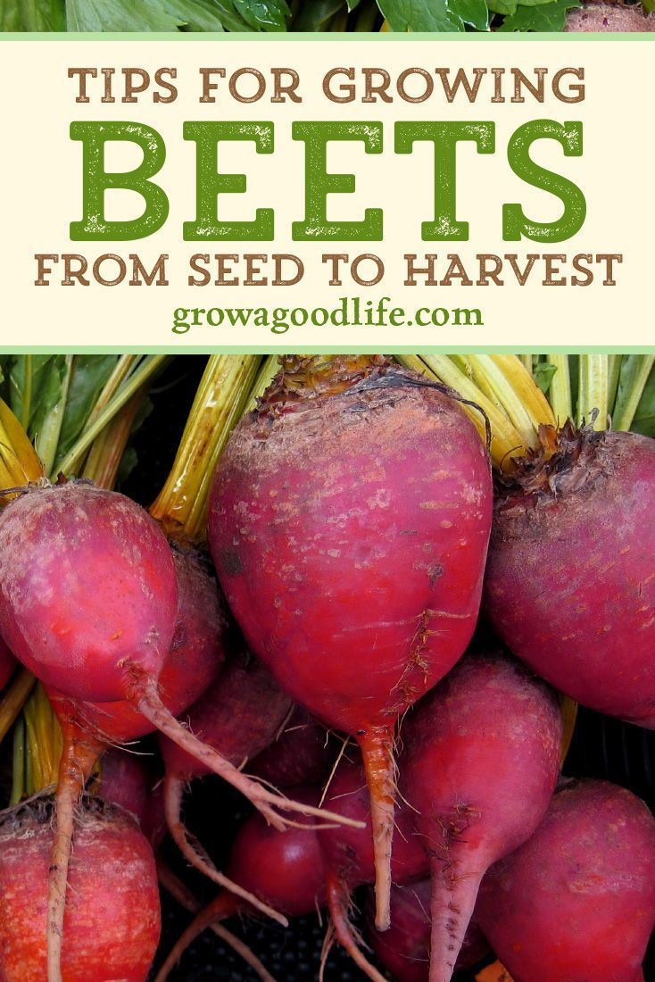 Beets Prefer Cooler Weather Can Tolerate Some Frost Plan To Grow Beets During T Gardening The Most Comprehensive Blog In The World Welcome In 2020 Growing Beets Beets Gardening For Beginners