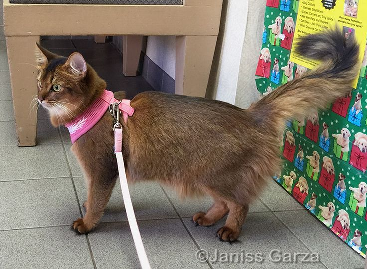 Thinking of walking your cat on a leash? Check out these tips on how to buy a cat harness.