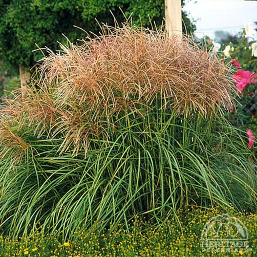 A Widespread Noxious Cool Season Annual: 192 Best Horticulture: Grasses For Zones 2, 3 & 4 Images