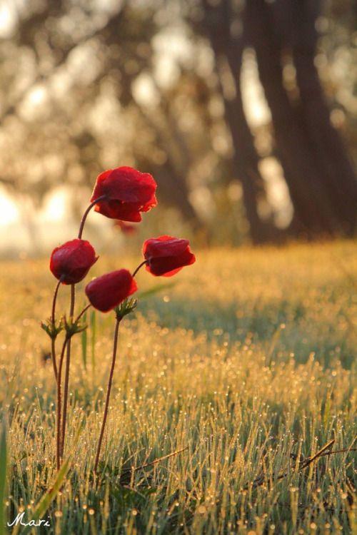 """sapphire1707: """" Red flowers by MariannaChechik """""""