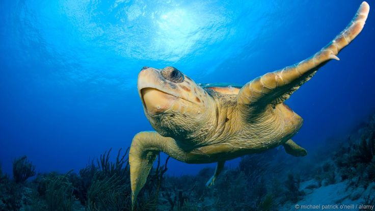 The adult Loggerhead Sea Turtle weighs approximately 135 kg. (some may grow up to 450 kg.) and spends most of its life in saltwater and estuarine habitats, with females briefly coming ashore to lay eggs. The loggerhead sea turtle has a low reproductive rate; females lay an average of four egg clutches and then become quiescent, producing no eggs for two to three years. The loggerhead reaches sexual maturity between 17–33 years and has a lifespan of 47–67 years. Photo from BBC Earth.