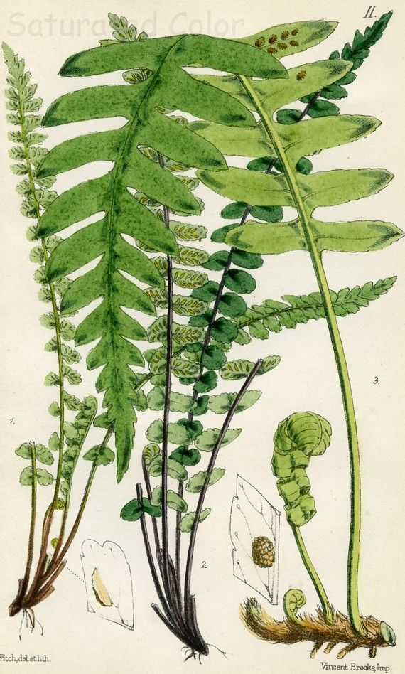 Antique Fern Bookplate, Plate 2 by Margaret Plues (1828-1901). An Irish and British field-biologist, she wrote several popular books on natural history, and helped popularize botany for the Victorians. Hand-coloured, ca.1880