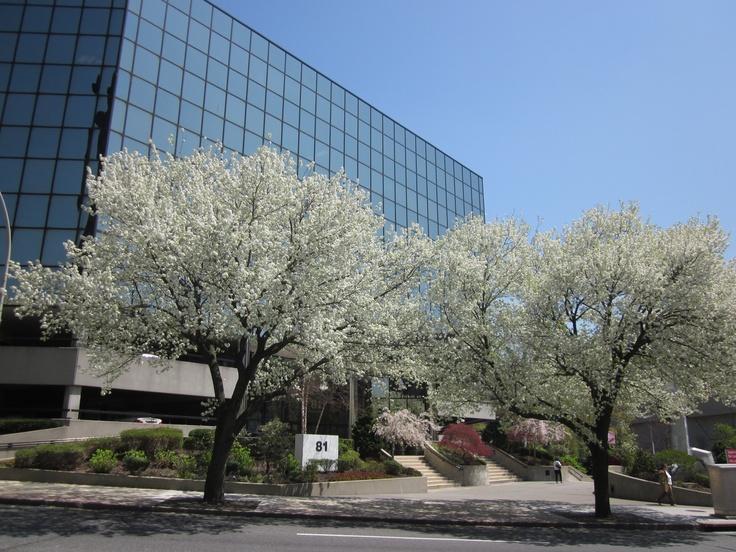 Kingdom Ridge Office Building in the Spring, 81 Main Street, White Plains