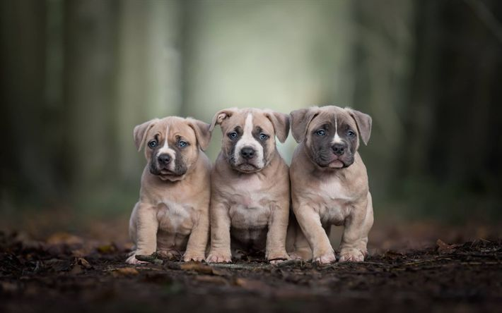 Download wallpapers Pitbull Terrier, small puppies, cute animals, American Pitbull Terriers, small dogs, dog breeds