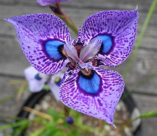 Peacock iris