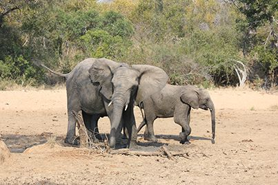 Lundi and Mombo taking full advantage of a really small mud wallow.