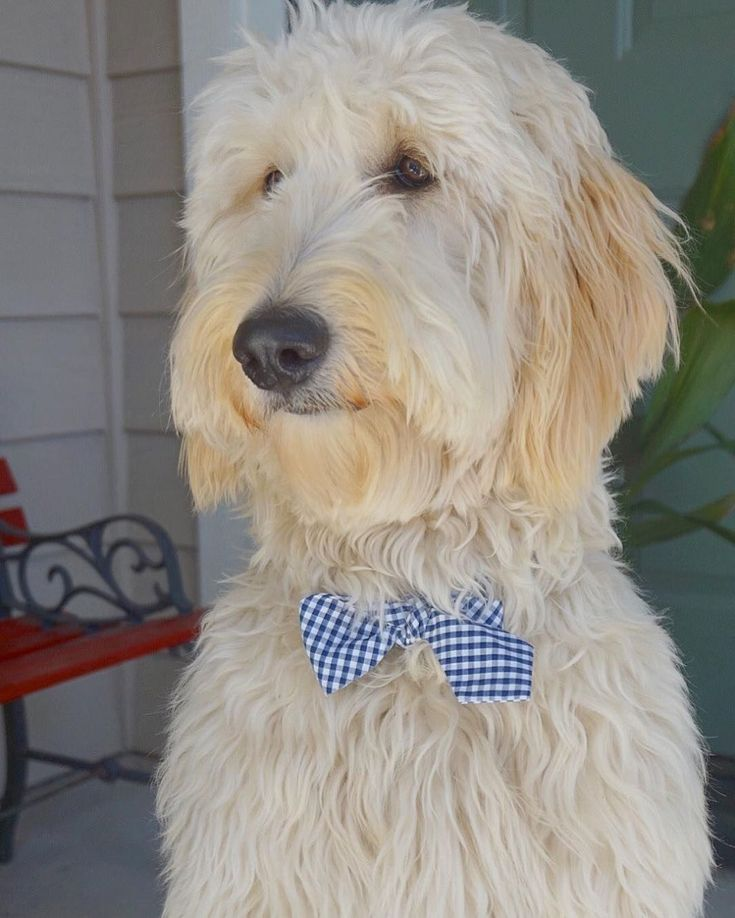 how to groom a goldendoodle video