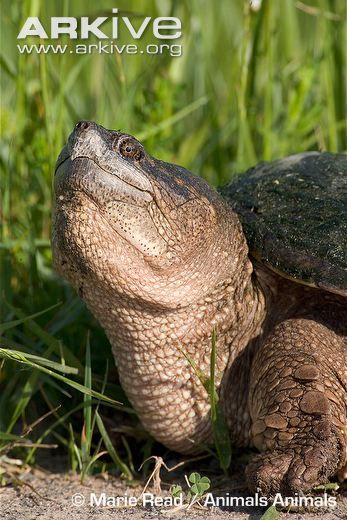 Common snapping turtle adult
