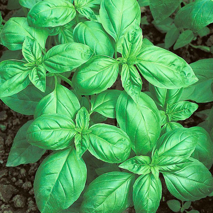 STORBLADIG BASILIKA 'Genovese' i gruppen Fröer / Krydd- och Medicinalväxter / Kryddväxt hos Impecta Fröhandel (3014)