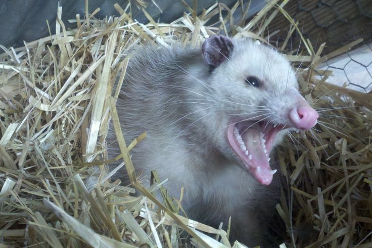 POSSUM HOLE DISORDER Animals, Opossum, Possum