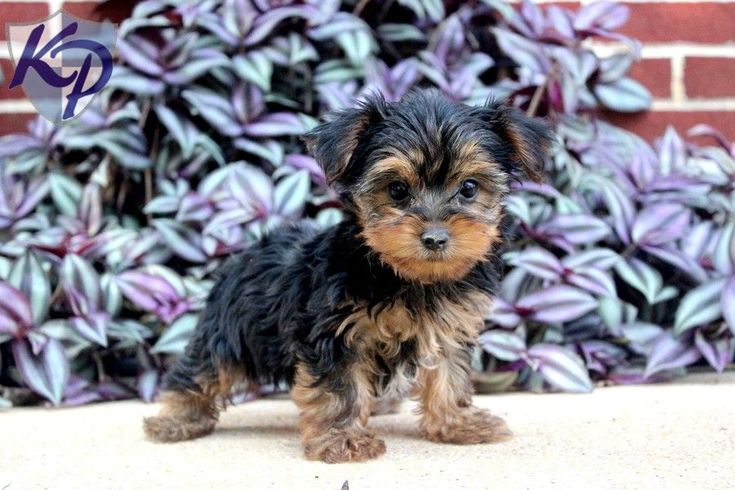 Simba – Yorkshire Terrier Puppies for Sale in PA | Keystone Puppies