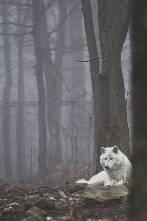 """After wandering for days in this forest, she knew the white wolf was a guardian angel in wolf-form the moment she saw it."""