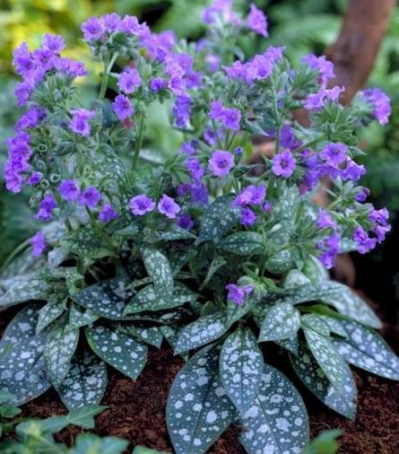 Pulmonaria (Lung-wort, Jerusalem cowslip) in gardens by at least the seventeenth century and probably well before that. Pretty foliage (and flowers) for the shade garden.
