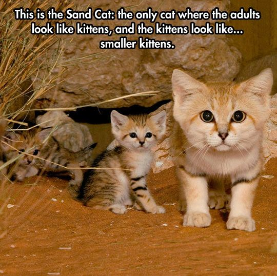The Sand Cat  - funny pictures #funnypictures