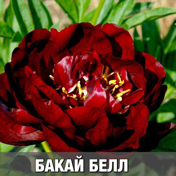 453 отметок «Нравится», 26 комментариев — Агрохолдинг ПОИСК(интер.-маг.) (@agrofirma_poisk) в Instagram: «Хотите шикарные насыщенно-красные пионы в своё саду? Тогда этот пост для Вас!👉🏻 🌿АРМАНИ - по-…»