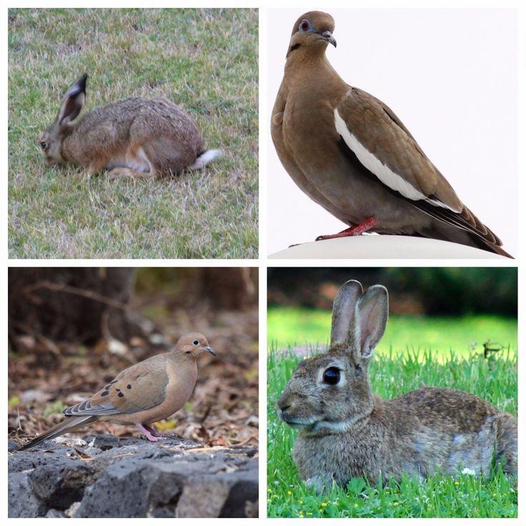 Inicia temporada de caza para conejo, liebre, paloma alas blancas y huilota | El Puntero