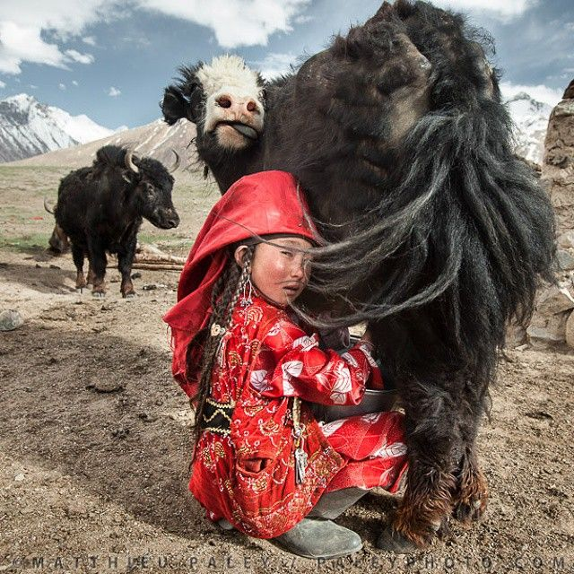 Photo by @paleyphoto (Matthieu Paley - National Geographic Photographer). Twice a day, young Ayeem Khan milks the family's yaks in Afghanistan's Pamir mountains. Some milk curd will be dried for use in winter, when yaks give less milk.