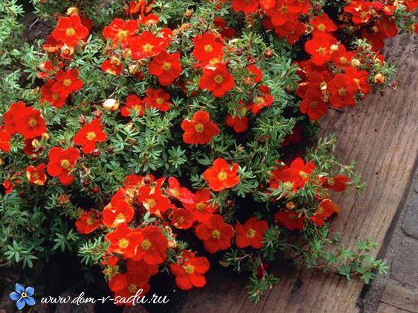 Лучшие кустарники цветущие все лето