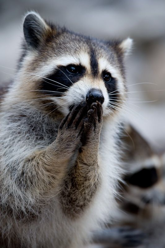 Emmy Awards..Winner              Oh no ! Please don't ...Racoon, Wild Animal, God, Animal Humor, A Kisses, Creatures, Raccoons, Funny Animal, Adorable Animal