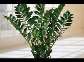 """НЕОБЫЧНОЕ СРЕДСТВО для комнатных растений/КАК """"РЕАНИМИРОВАТЬ"""" комнатные цветы. - YouTube"""