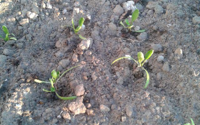 Coltivare gli spinaci partendi da piantine #orto #spinaci
