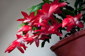 A flor-de-maio está a todo vapor no inverno. Florescendo com esplendor. Não deixe de fertilizá-la nesta fase. Foto de  Björn Sahlberg