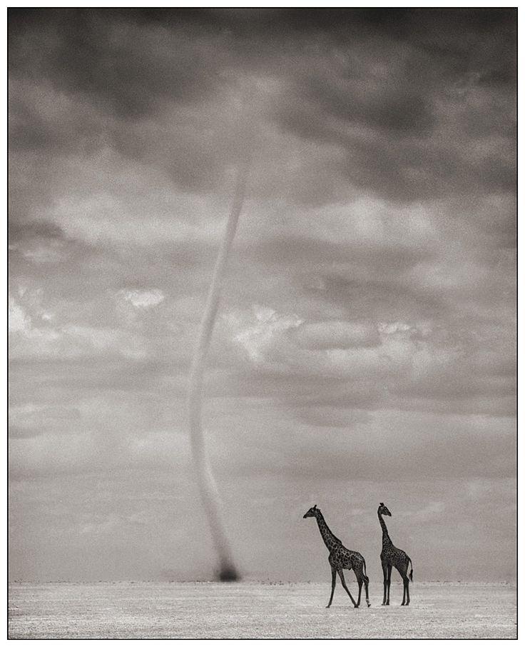 Giraffes Dust Devil