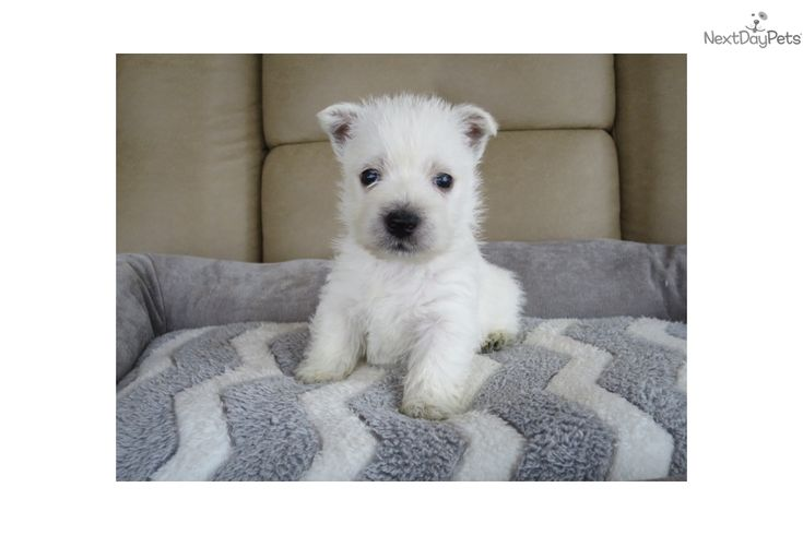 West Highland White Terrier - Westie puppy for sale near South Bend / Michiana, Indiana | 322e8181-c861