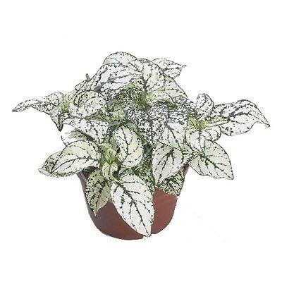 9 best hypoestes images on pinterest live plants corks and diy planters. Black Bedroom Furniture Sets. Home Design Ideas