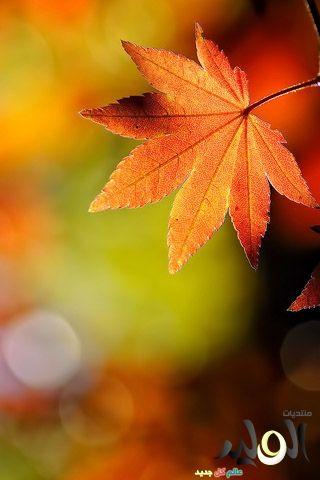 Fall Leaf Wallpaper For Mobile خلفيات اوراق الخريف للأيفون 5 2017 خلفيات اشجار جميلة