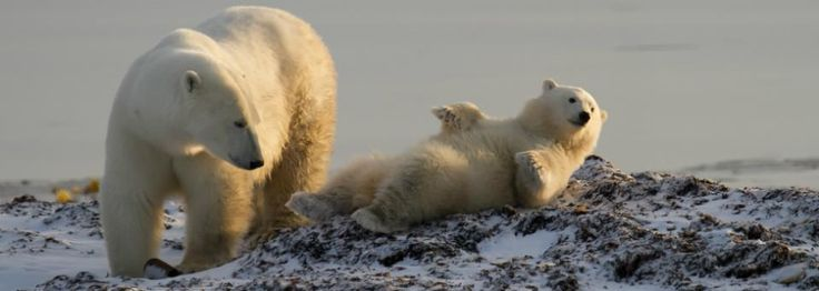 Land-based polar bear viewing is possible in July and August! Perfect for family vacations.