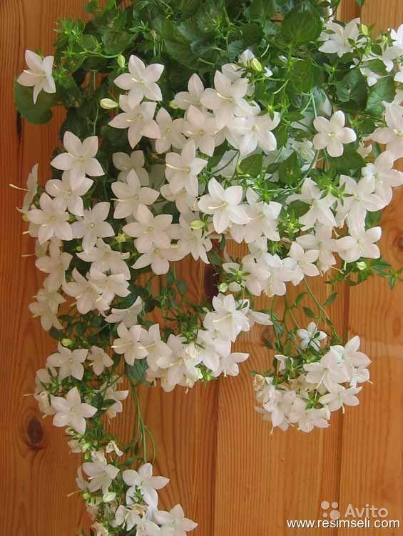 Вьющиеся или ампельные комнатные растения используют для вертикального озеленения. Они прекрасно дополняют интерьер, украшая стены и оживляя пустые уголки. Большинство из них достаточно неприхотливые! Сциндапсус— нетребовательное растение, способное расти в самом темном углу комнаты и при любой температуре. Листья сердцевидные, блестящие, ярко-зеленые или пестролистные с пятнами разнообразных форм. При недостатке освещения светлые пятна на листьях могут поблекнуть. Сциндапсус очень быстро…