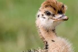 Baby #ostrich, this little one look as if he just woke-up, funny and cute little one!