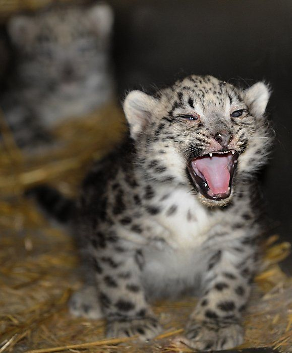 18 best images about Baby Snow Leopard on Pinterest ...