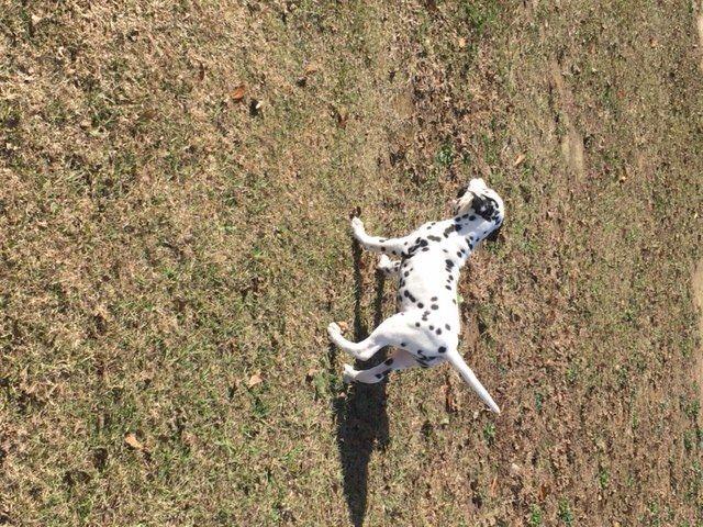 Dalmatian puppy for sale in HEADLAND, AL. ADN-63882 on PuppyFinder.com Gender: Male. Age: 4 Months Old