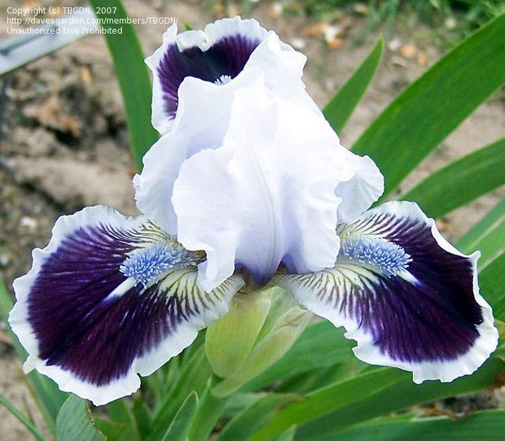 "*Dwarf Bearded Iris 'Puddy Tat' 13"" blooms very early"