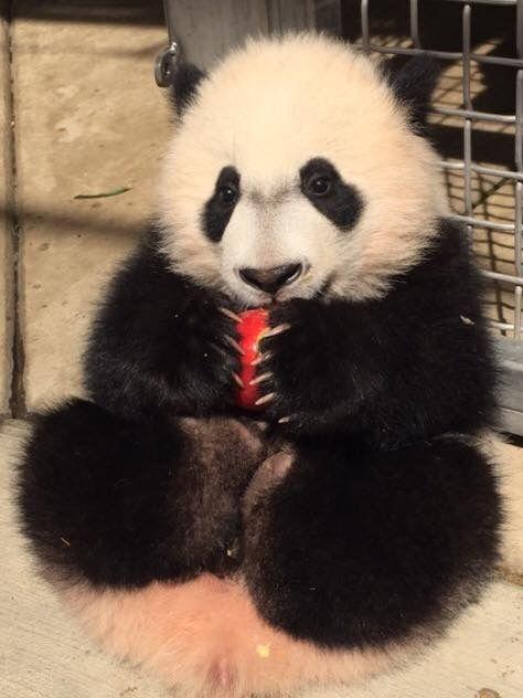 """Panda named:  'Bei-Bei.' ~ """"An apple a day...""""      ( #endangered #pandas #wildlife )"""