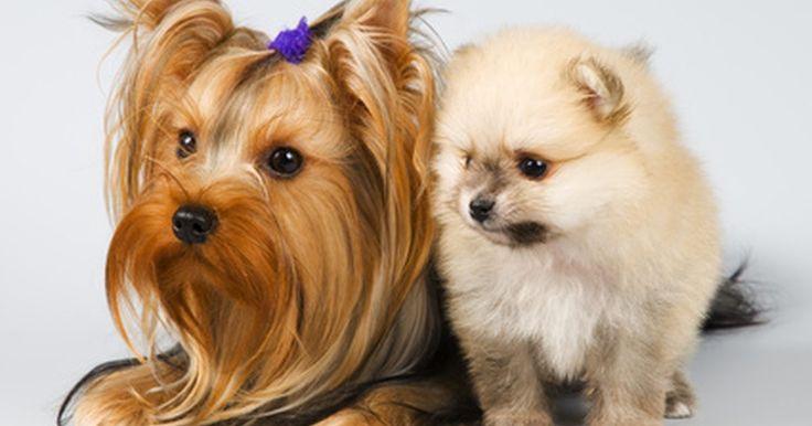 """Cómo entrenar a un Teacup Yorkshire Terrier para ir al baño. Un Teacup Yorkshire Terrier es un perro que ha sido criado para ser especialmente pequeño. No es una versión oficial de raza y no se puede registrar por separado con el American Kennel Club. La raza Yorkshire Terrier se clasifica como una """"raza de juguete"""", pesando no más de siete kilos. Los perros más pequeños son más difíciles de entrenar para ..."""