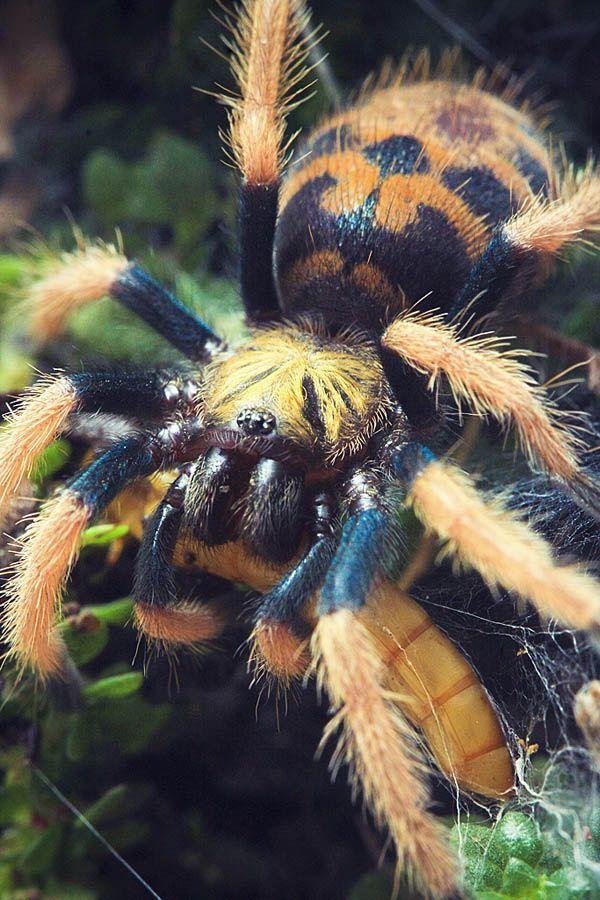 "adorablespiders: ""Green bottle blue tarantula spiderling image source """